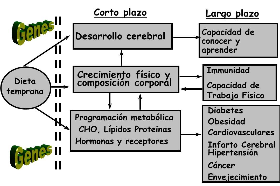 Genes Genes Corto plazo Largo plazo Desarrollo cerebral