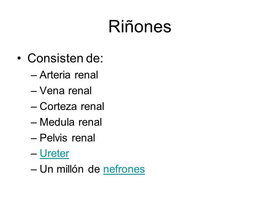 Riñones Consisten de: Arteria renal Vena renal Corteza renal