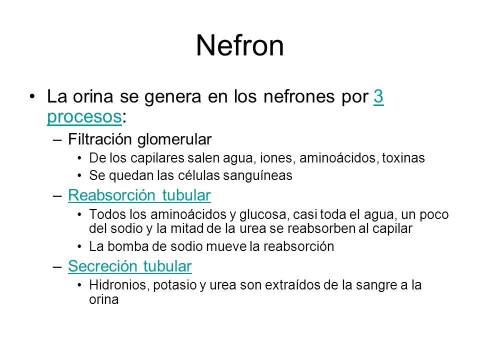 Nefron La orina se genera en los nefrones por 3 procesos: