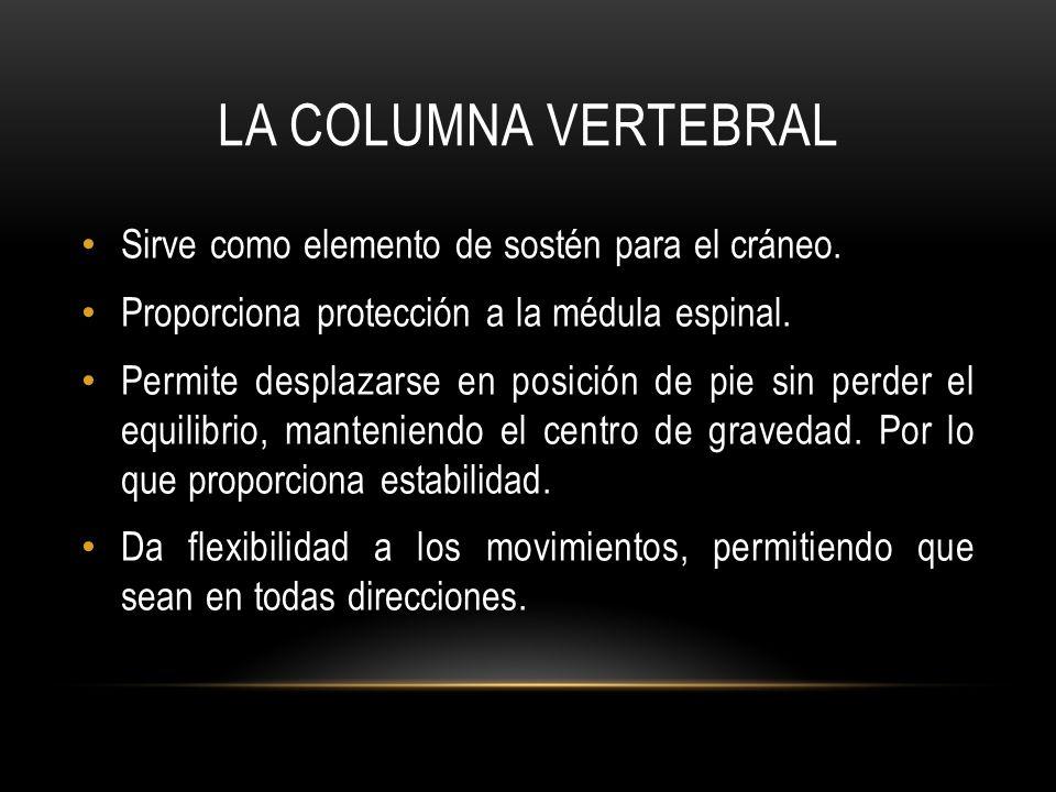 La columna vertebral Sirve como elemento de sostén para el cráneo.