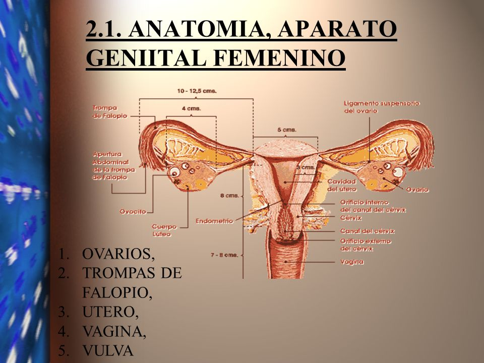 2.1. ANATOMIA, APARATO GENIITAL FEMENINO