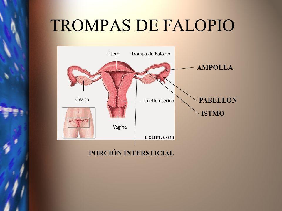TROMPAS DE FALOPIO AMPOLLA PABELLÓN ISTMO PORCIÓN INTERSTICIAL