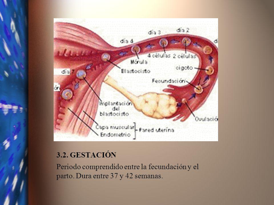 3.2. GESTACIÓN Periodo comprendido entre la fecundación y el parto. Dura entre 37 y 42 semanas.