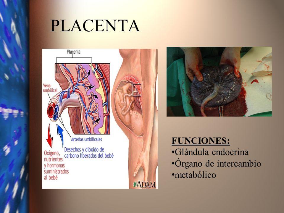 PLACENTA FUNCIONES: Glándula endocrina Órgano de intercambio