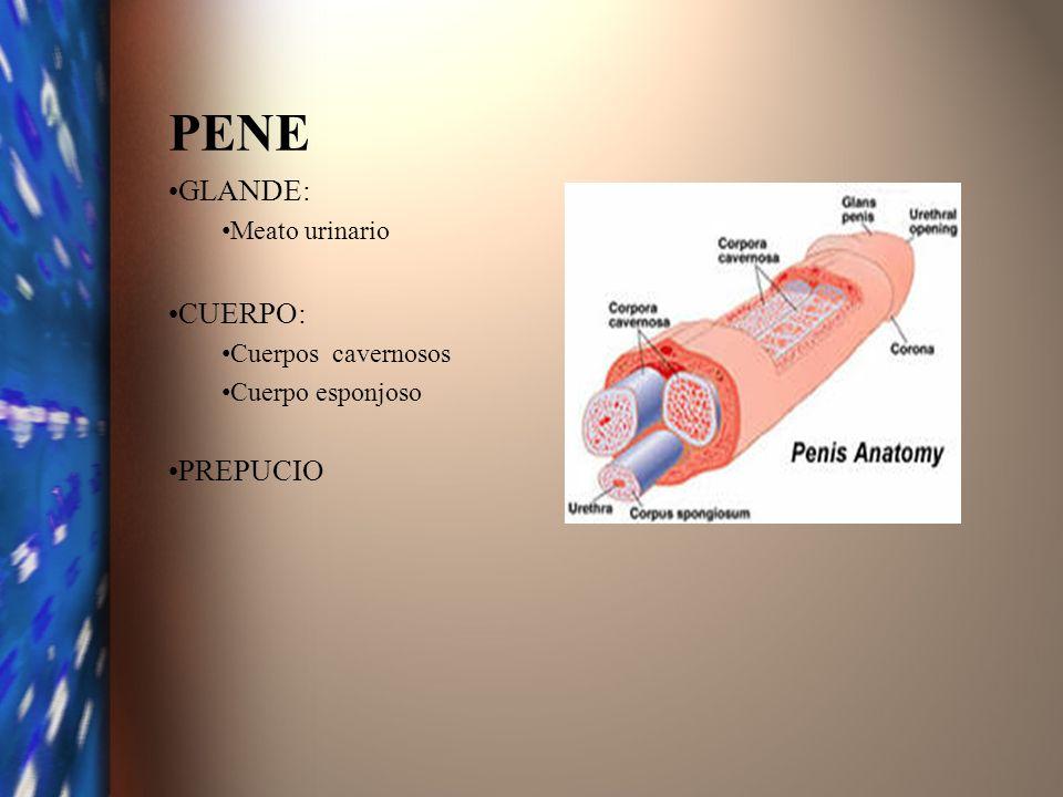 PENE GLANDE: CUERPO: PREPUCIO Meato urinario Cuerpos cavernosos