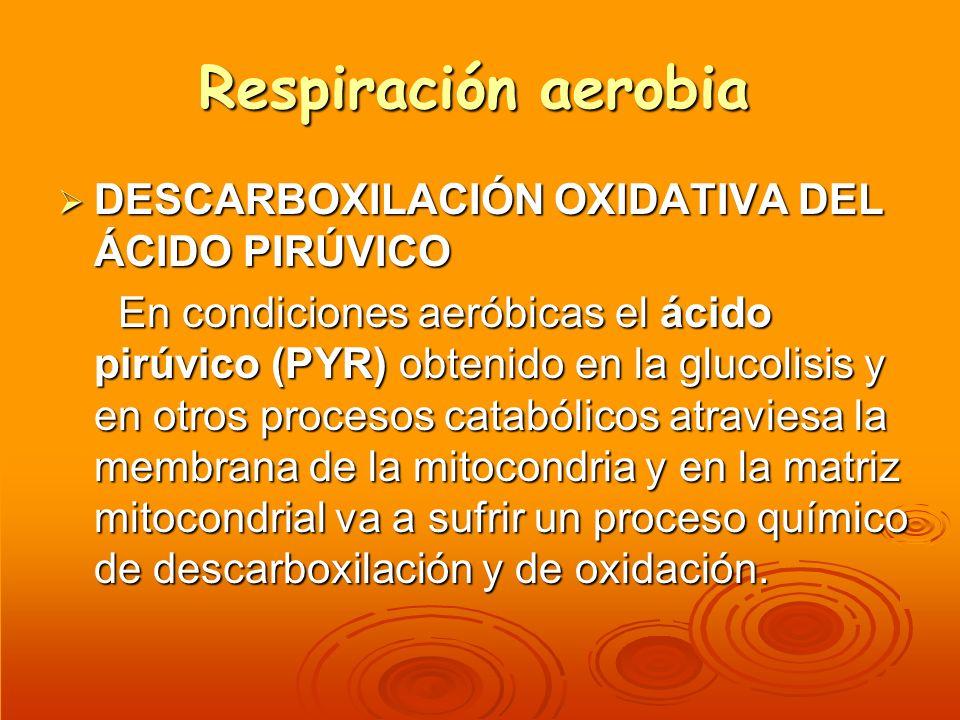 Respiración aerobia DESCARBOXILACIÓN OXIDATIVA DEL ÁCIDO PIRÚVICO