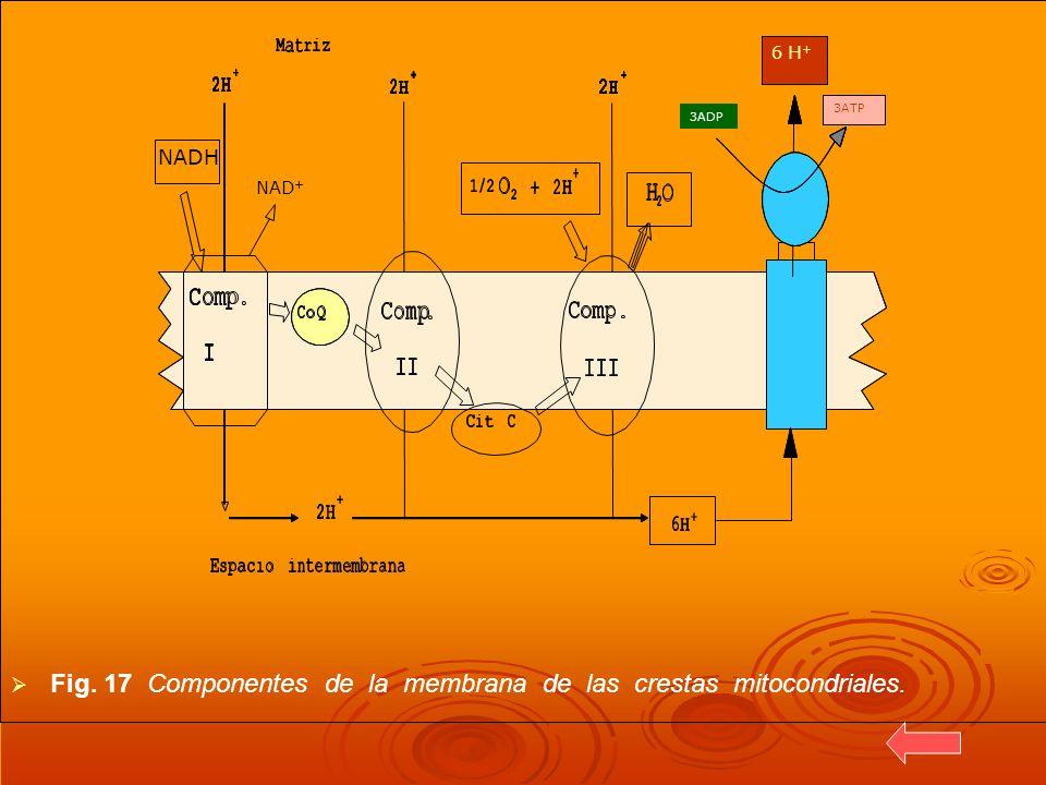 Fig. 17 Componentes de la membrana de las crestas mitocondriales.
