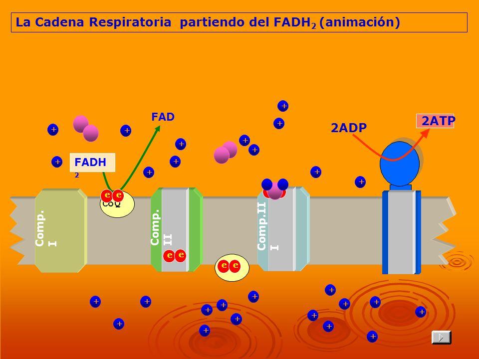 La Cadena Respiratoria partiendo del FADH2 (animación)