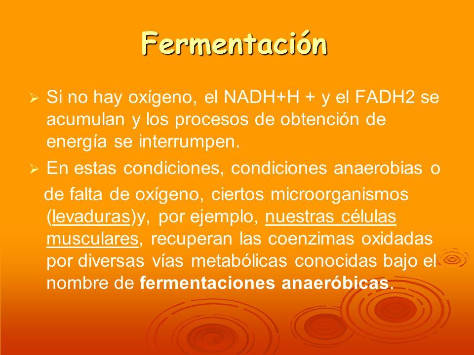 Fermentación Si no hay oxígeno, el NADH+H + y el FADH2 se acumulan y los procesos de obtención de energía se interrumpen.