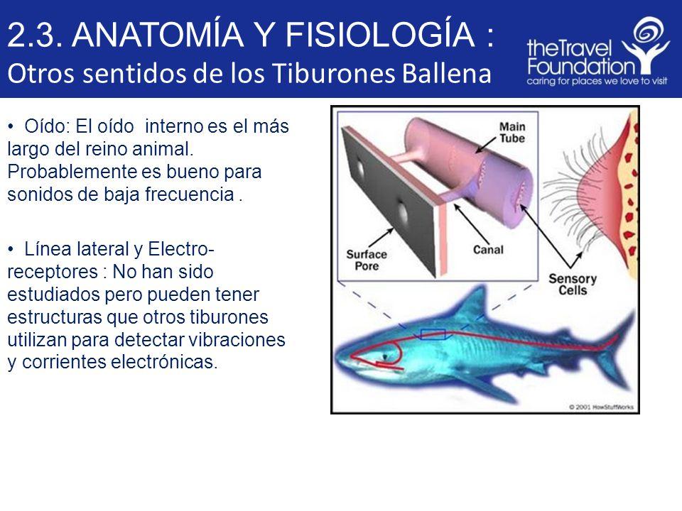 Magnífico La Anatomía De Un Tiburón Ilustración - Anatomía de Las ...