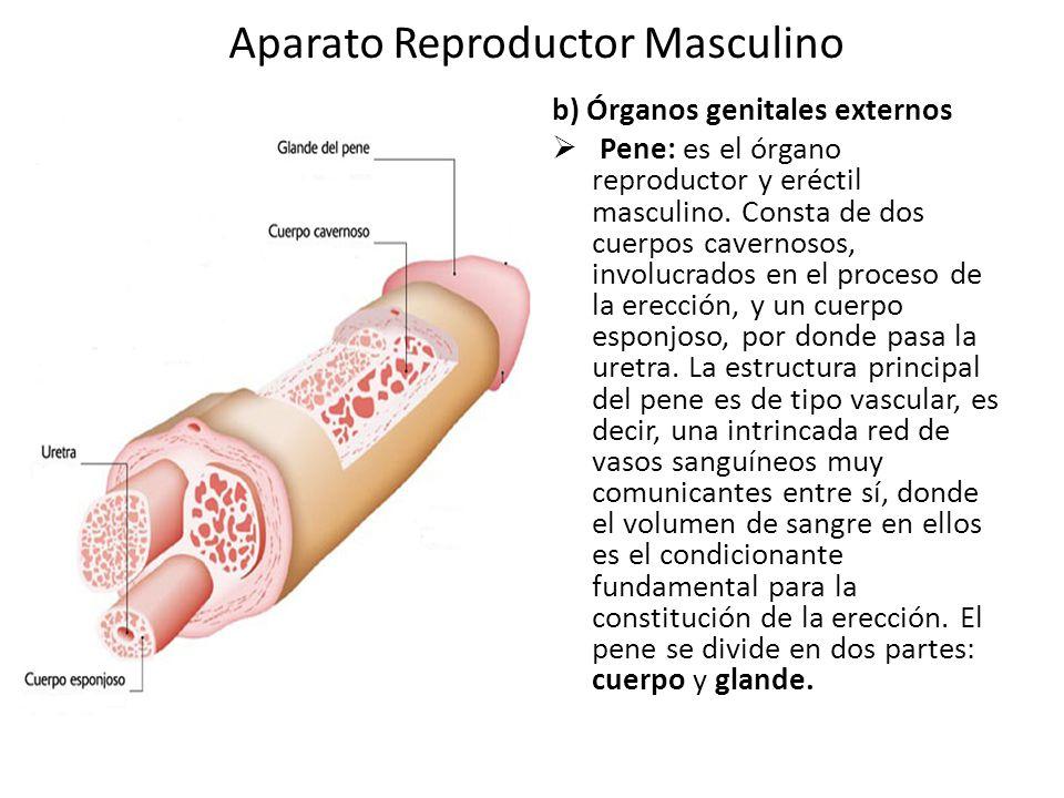 Excelente Vídeo Anatomía Reproductora Masculina Patrón - Anatomía de ...