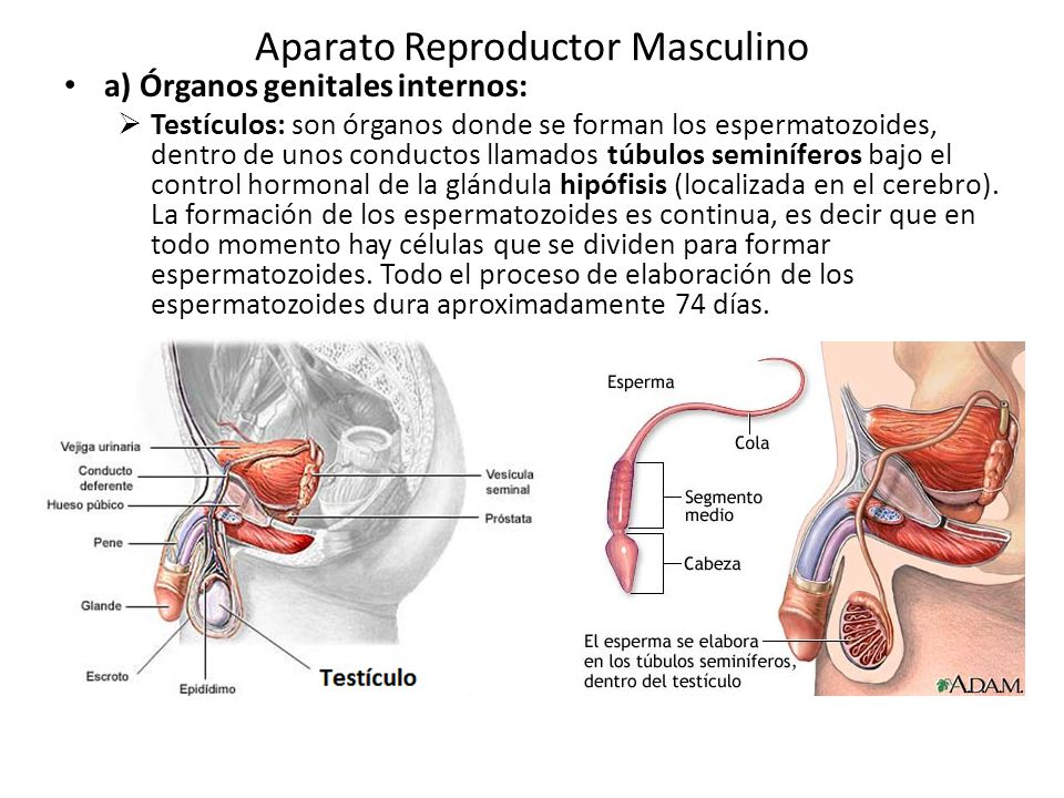 Aparato Reproductor Masculino - ppt video online descargar