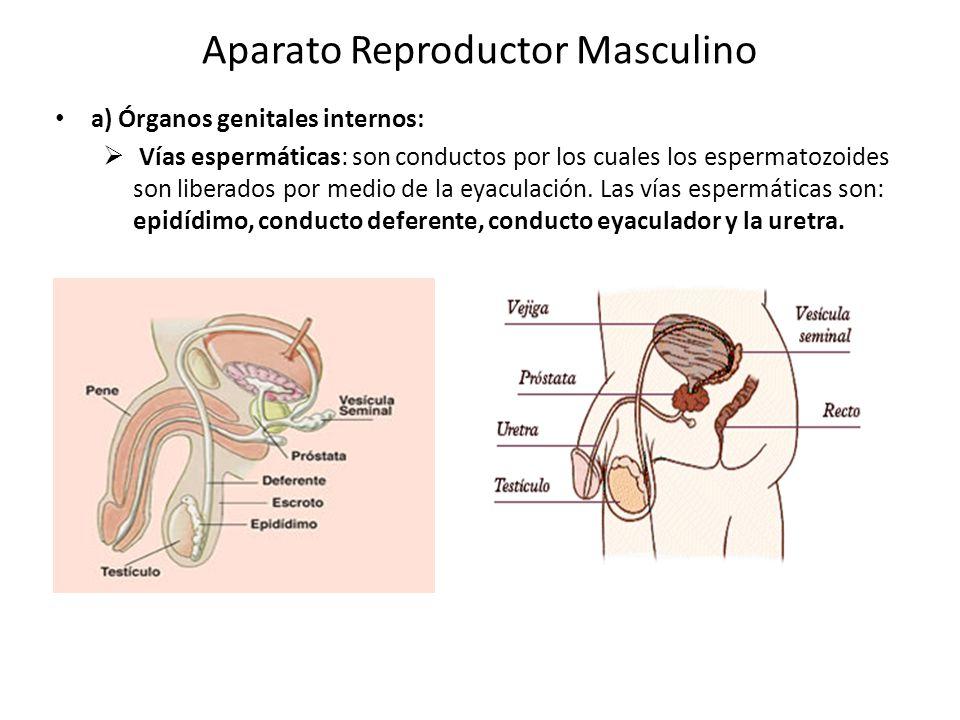 Encantador Modelo De Anatomía Reproductora Masculina Elaboración ...