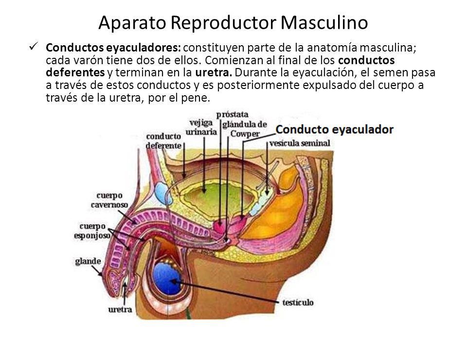 Dorable La Anatomía Del Aparato Reproductor Masculino Ornamento ...