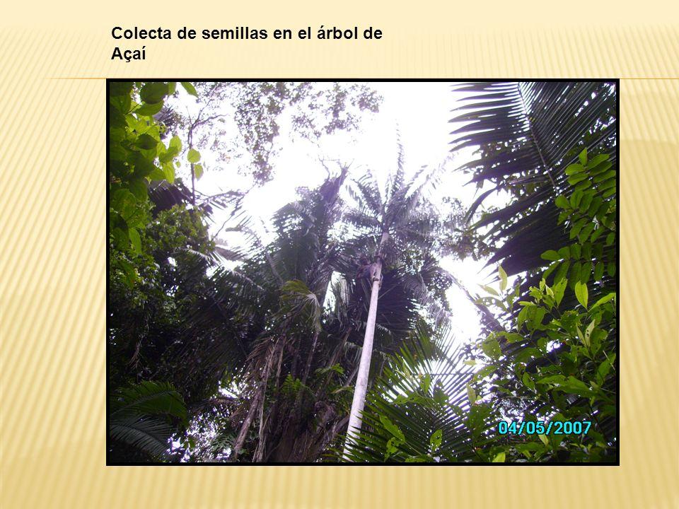 Colecta de semillas en el árbol de Açaí
