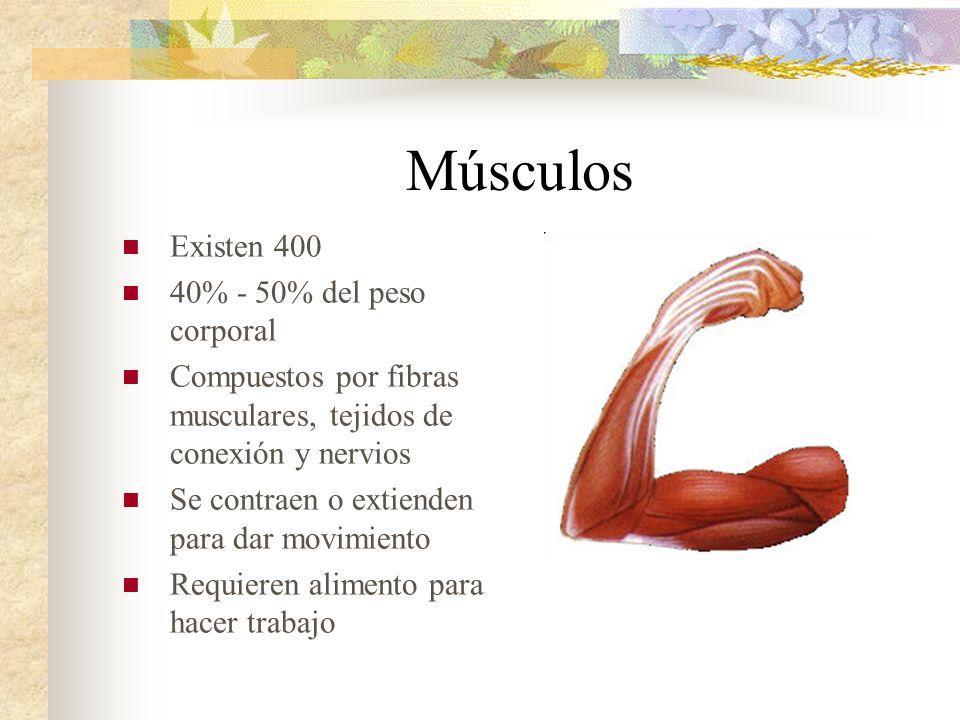 Músculos Existen 400 40% - 50% del peso corporal
