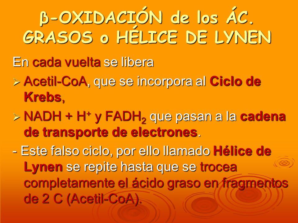 β-OXIDACIÓN de los ÁC. GRASOS o HÉLICE DE LYNEN