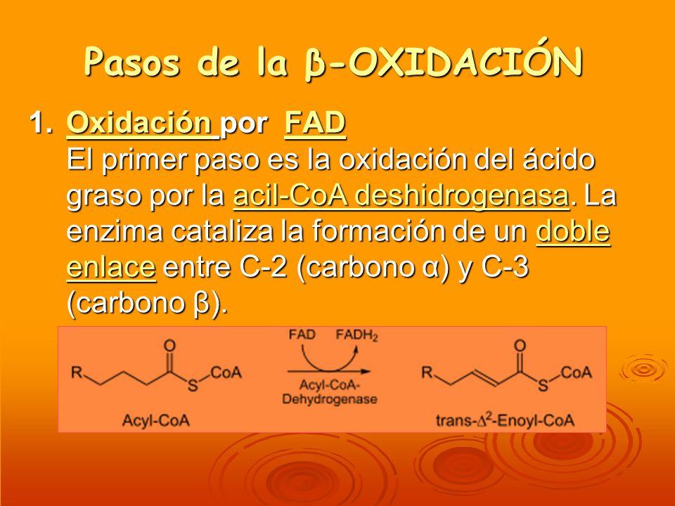 Pasos de la β-OXIDACIÓN