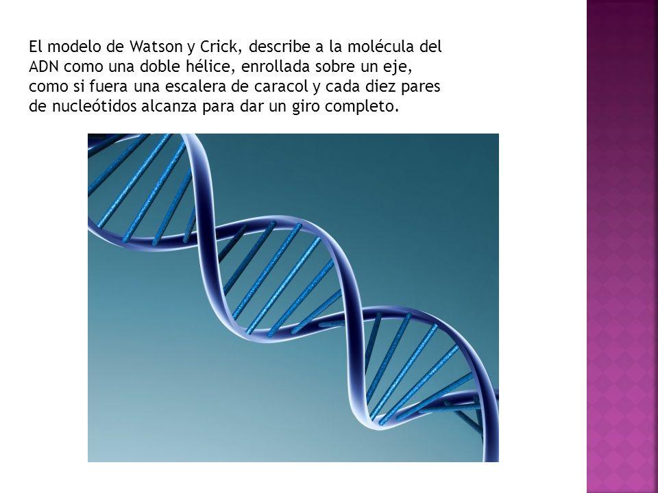 El modelo de Watson y Crick, describe a la molécula del ADN como una doble hélice, enrollada sobre un eje, como si fuera una escalera de caracol y cada diez pares de nucleótidos alcanza para dar un giro completo.