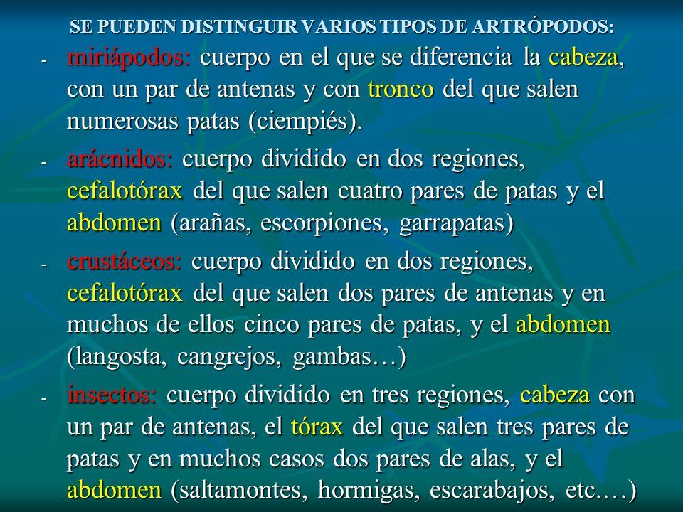 SE PUEDEN DISTINGUIR VARIOS TIPOS DE ARTRÓPODOS: