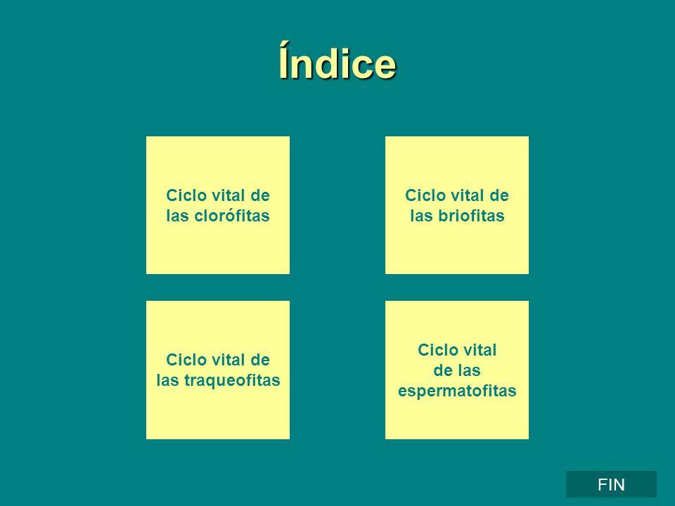 Índice Ciclo vital de las clorófitas Ciclo vital de las briofitas