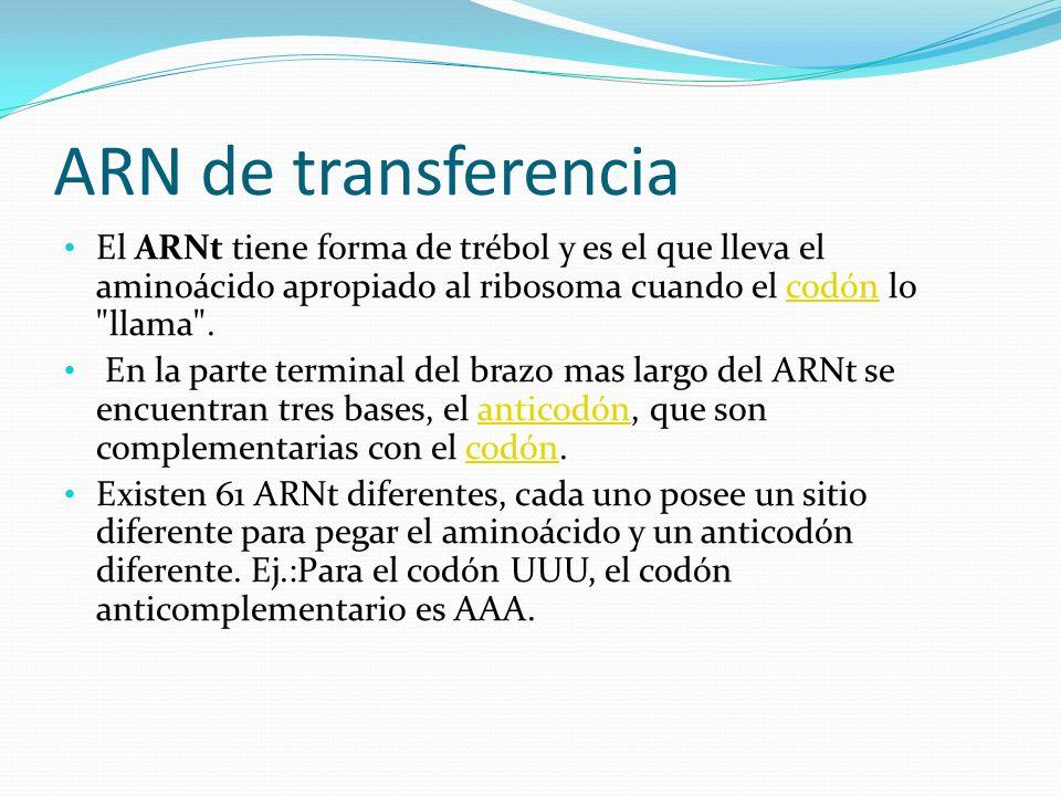 ARN de transferencia El ARNt tiene forma de trébol y es el que lleva el aminoácido apropiado al ribosoma cuando el codón lo llama .