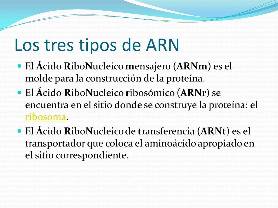 Los tres tipos de ARN El Ácido RiboNucleico mensajero (ARNm) es el molde para la construcción de la proteína.
