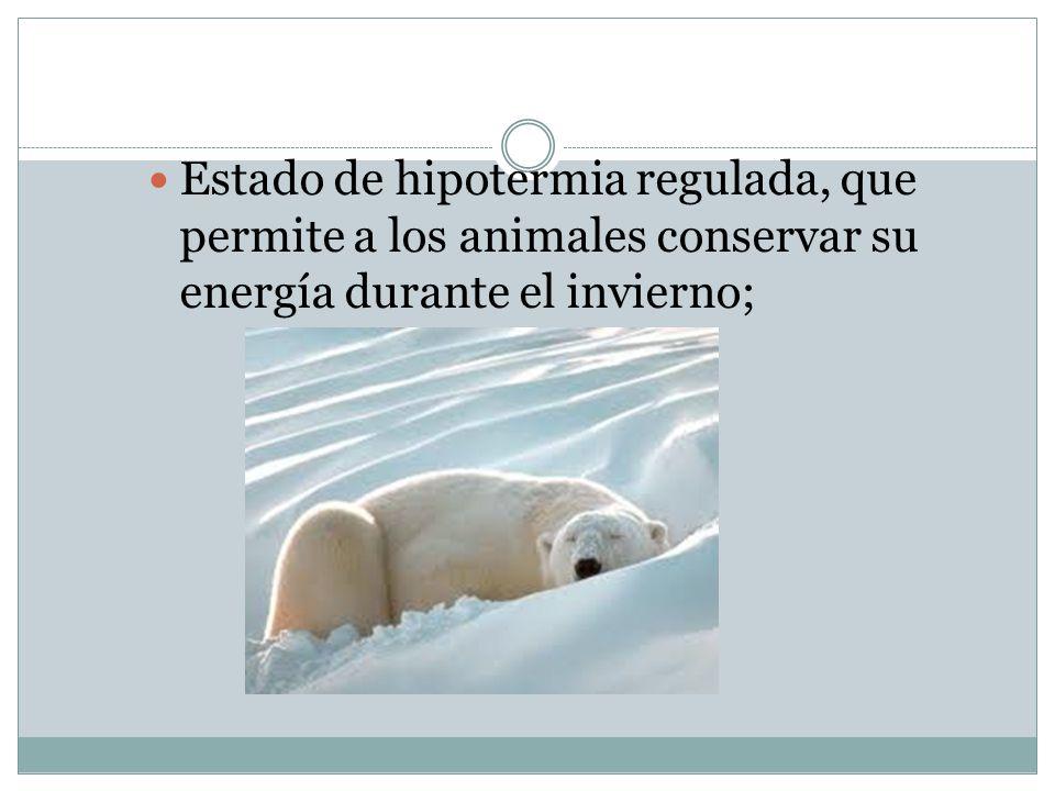 Estado de hipotermia regulada, que permite a los animales conservar su energía durante el invierno;