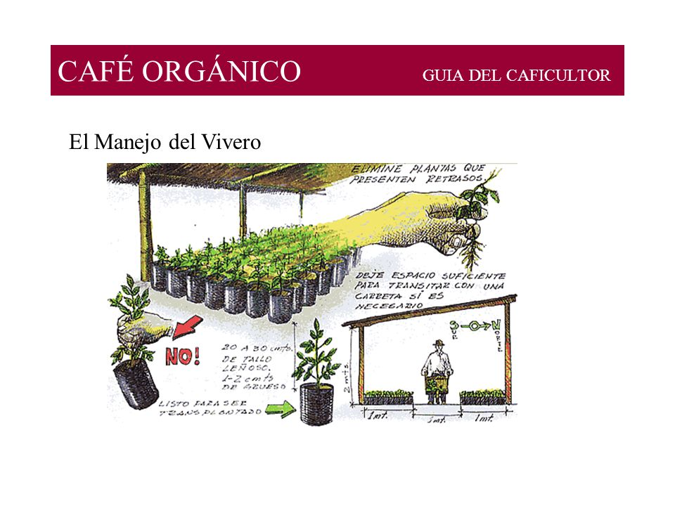 Caf org nico guia del caficultor ppt descargar for Vivero organico