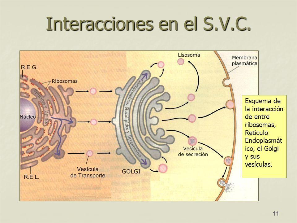 Interacciones en el S.V.C.