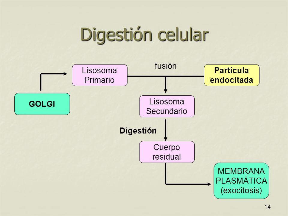 Digestión celular GOLGI Lisosoma Secundario Cuerpo residual MEMBRANA