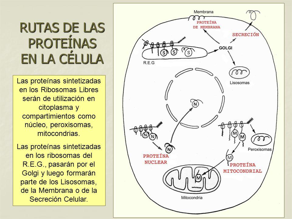 RUTAS DE LAS PROTEÍNAS EN LA CÉLULA