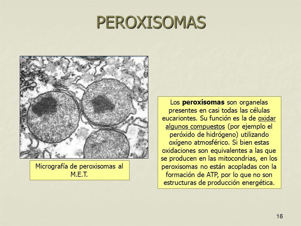 Micrografía de peroxisomas al M.E.T.