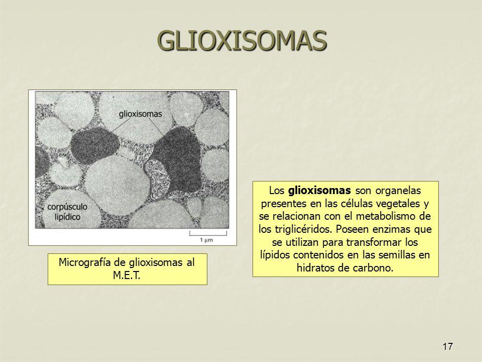 Micrografía de glioxisomas al M.E.T.