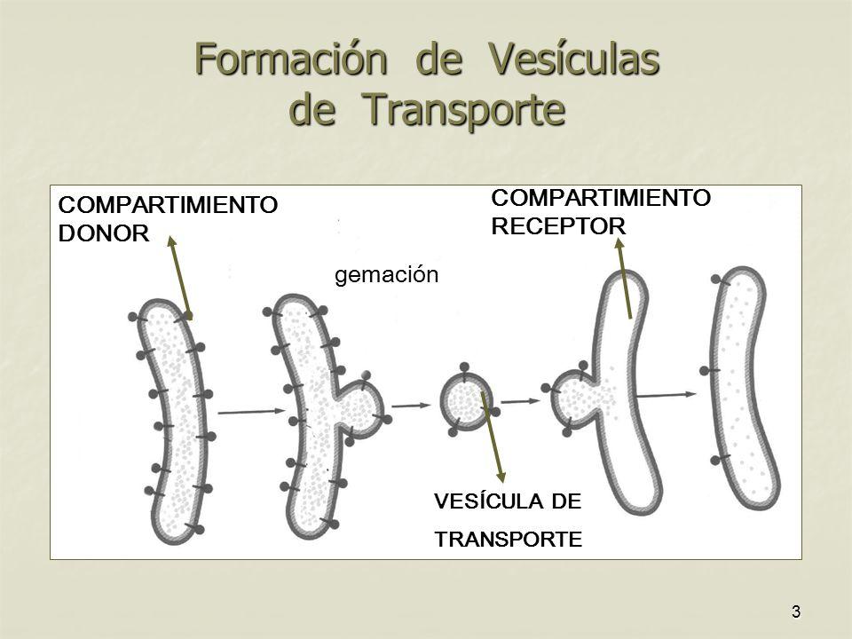 Formación de Vesículas de Transporte