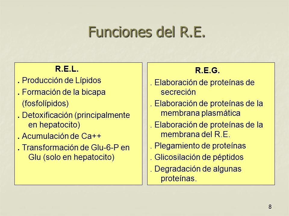 Funciones del R.E. R.E.G. R.E.L. . Producción de Lípidos