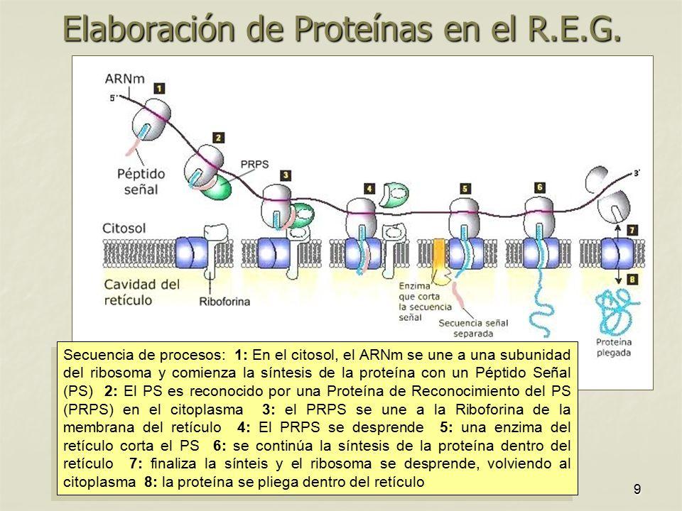 Elaboración de Proteínas en el R.E.G.