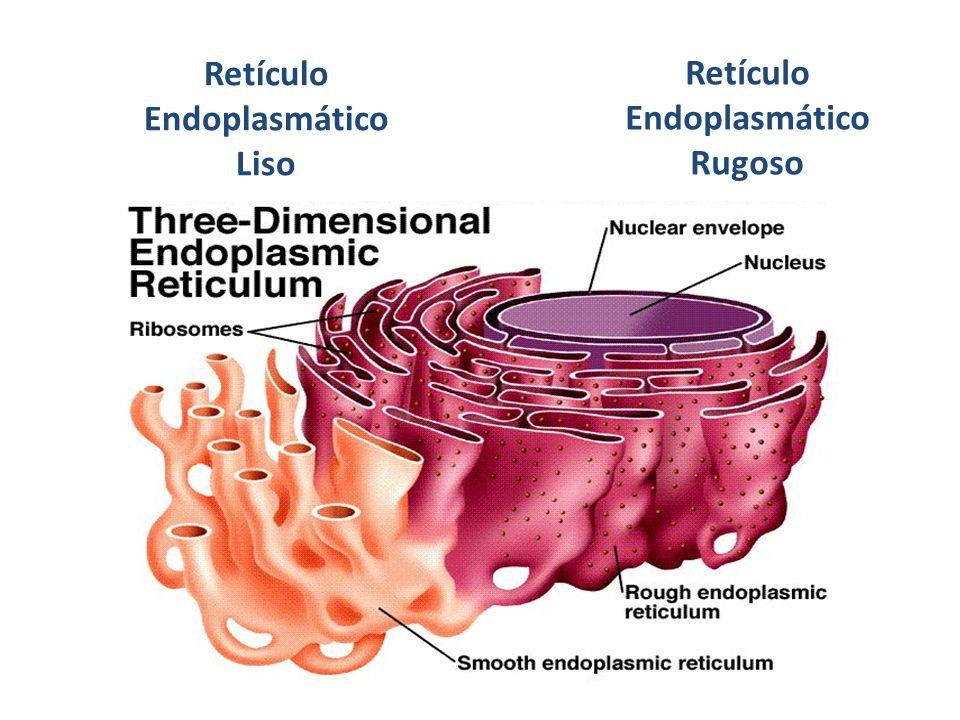 Retículo Endoplasmático Liso Retículo Endoplasmático Rugoso