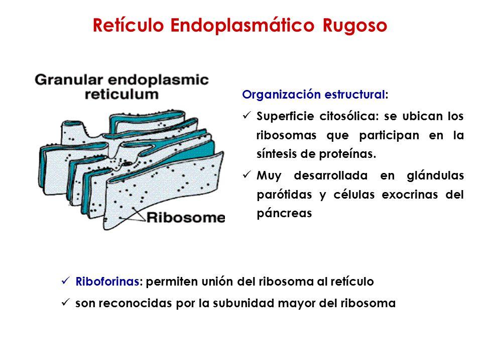 Retículo Endoplasmático Rugoso