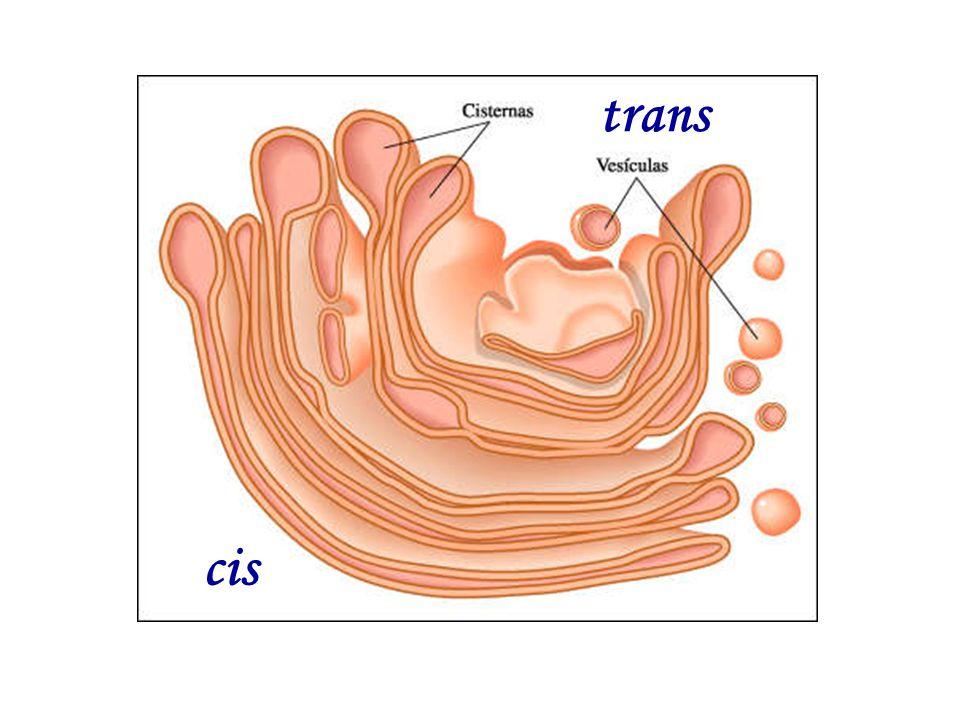 cis trans