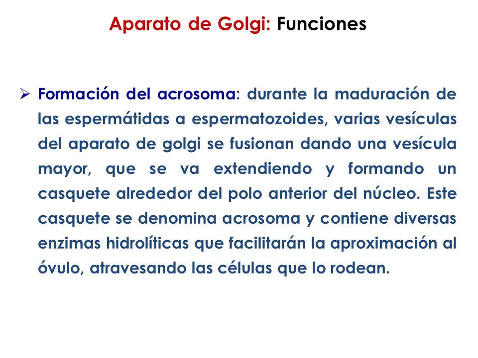 Aparato de Golgi: Funciones