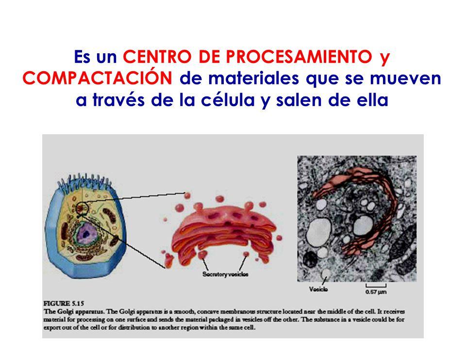 Es un CENTRO DE PROCESAMIENTO y COMPACTACIÓN de materiales que se mueven a través de la célula y salen de ella