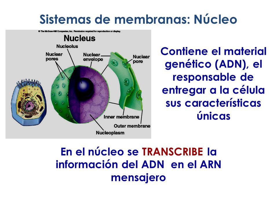 En el núcleo se TRANSCRIBE la información del ADN en el ARN mensajero