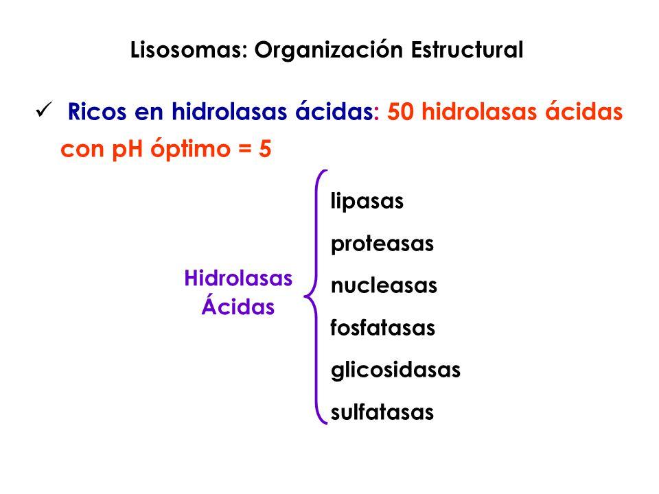 Lisosomas: Organización Estructural