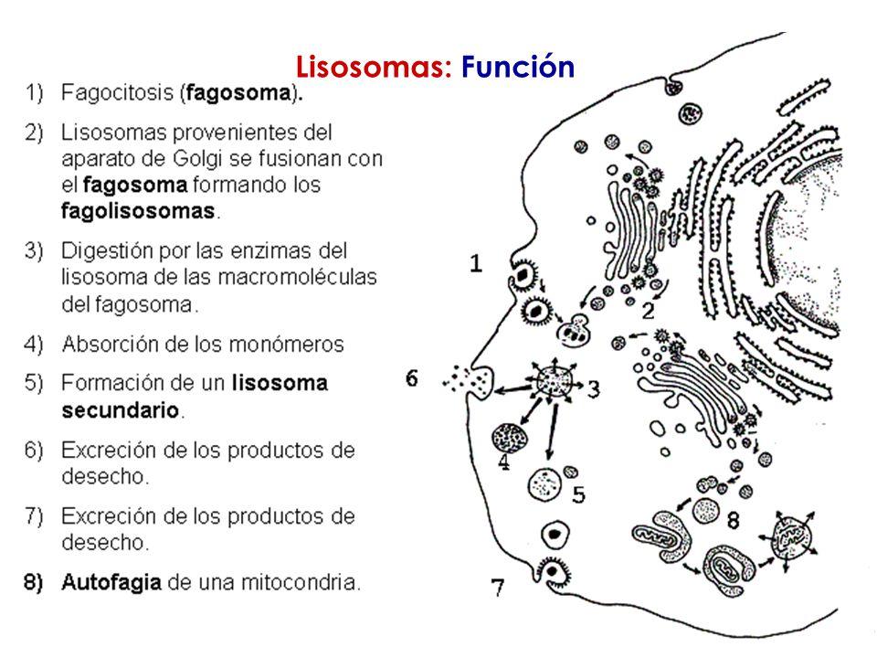 Lisosomas: Función