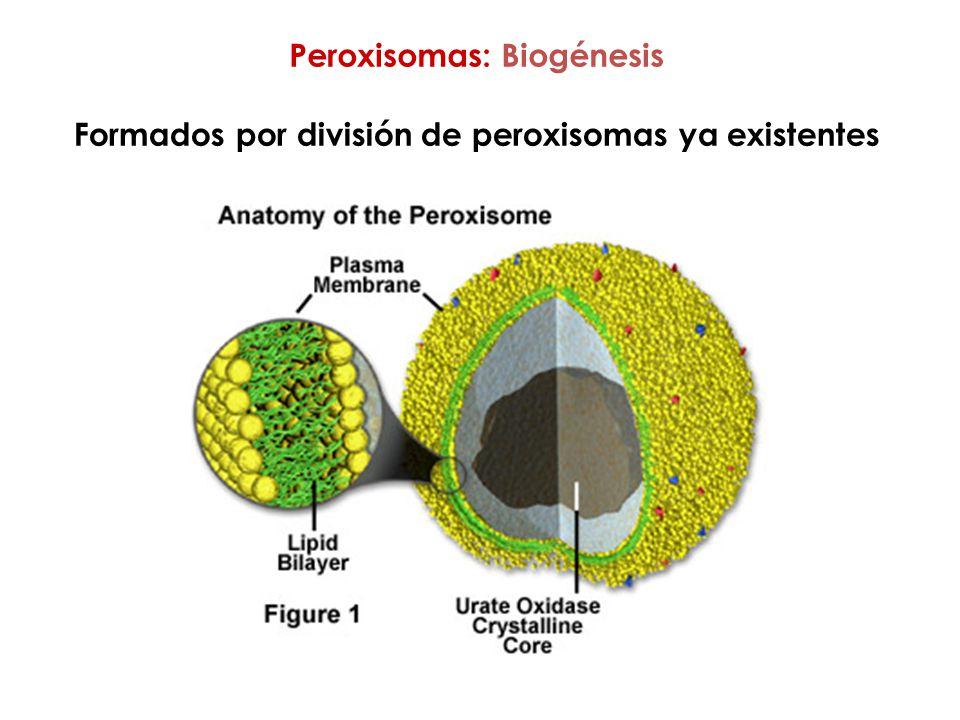 Peroxisomas: Biogénesis