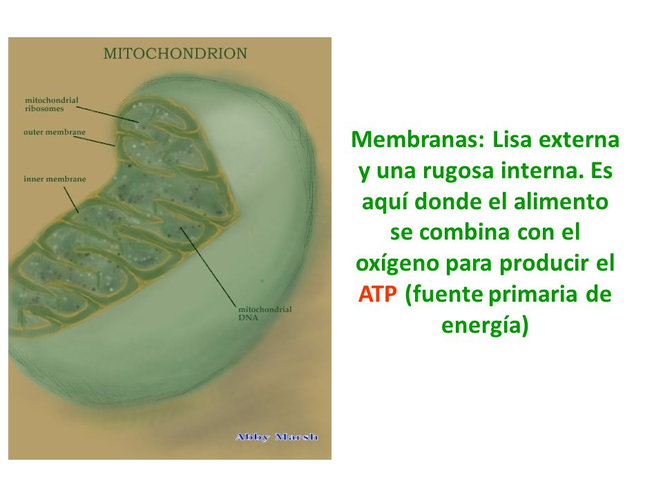 Membranas: Lisa externa y una rugosa interna