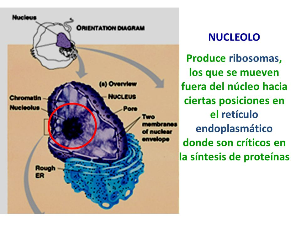 NUCLEOLO