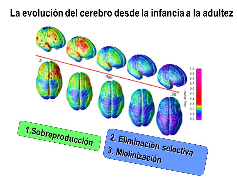 La evolución del cerebro desde la infancia a la adultez