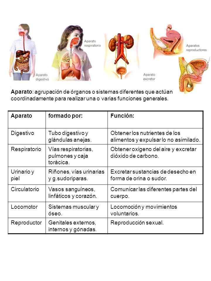 Aparato: agrupación de órganos o sistemas diferentes que actúan coordinadamente para realizar una o varias funciones generales.